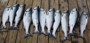 salmon-2Web