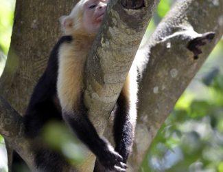 CR.monkey.tree
