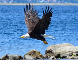 eagle.1