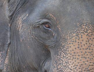 elephant.eye