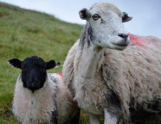 mumbaby.sheep