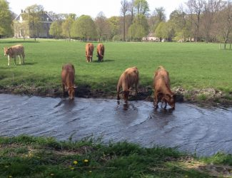 cows.canal