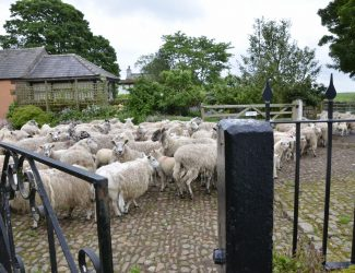 sheep.scalehouse.gate